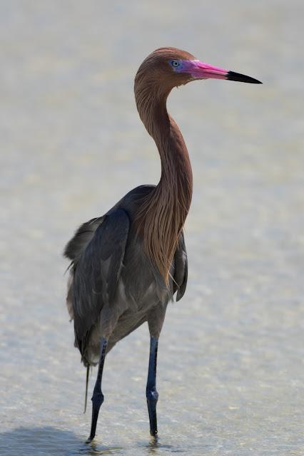 Reddish Egret - Fort De Soto, Florida