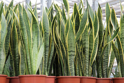 Sansevieria trifasciata, planta de interior