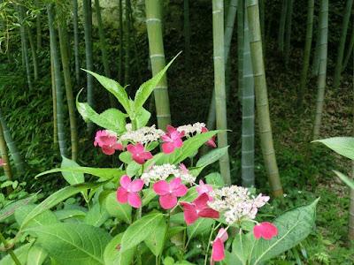 長壽寺のアジサイ