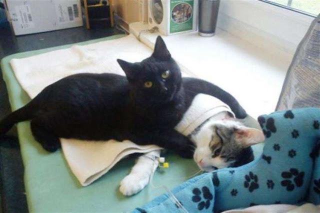 Огромное кошачье сердце, готово согреть и утешить абсолютно всех
