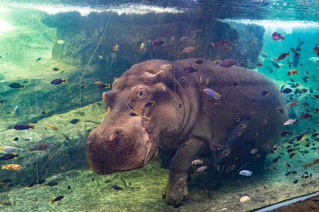 hipopótamo bajo el agua en la cueva de Kitum
