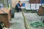 Petugas Damkar Jak-Bar, Berhasil Evakuasi Ular Sanca Dengan Panjang 4,2 Meter di Kedoya
