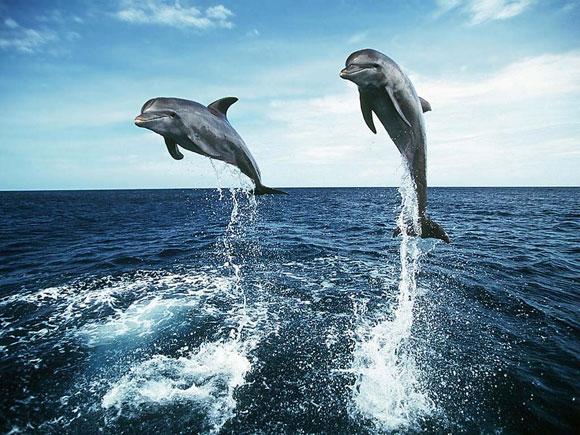 بالصور والفيديو :- معلومات عن الدلافين dolphin_wallpaper_00