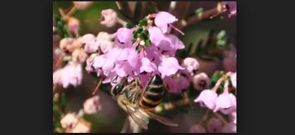 Πωλείται μέλι ερείκης στην Έυβοια