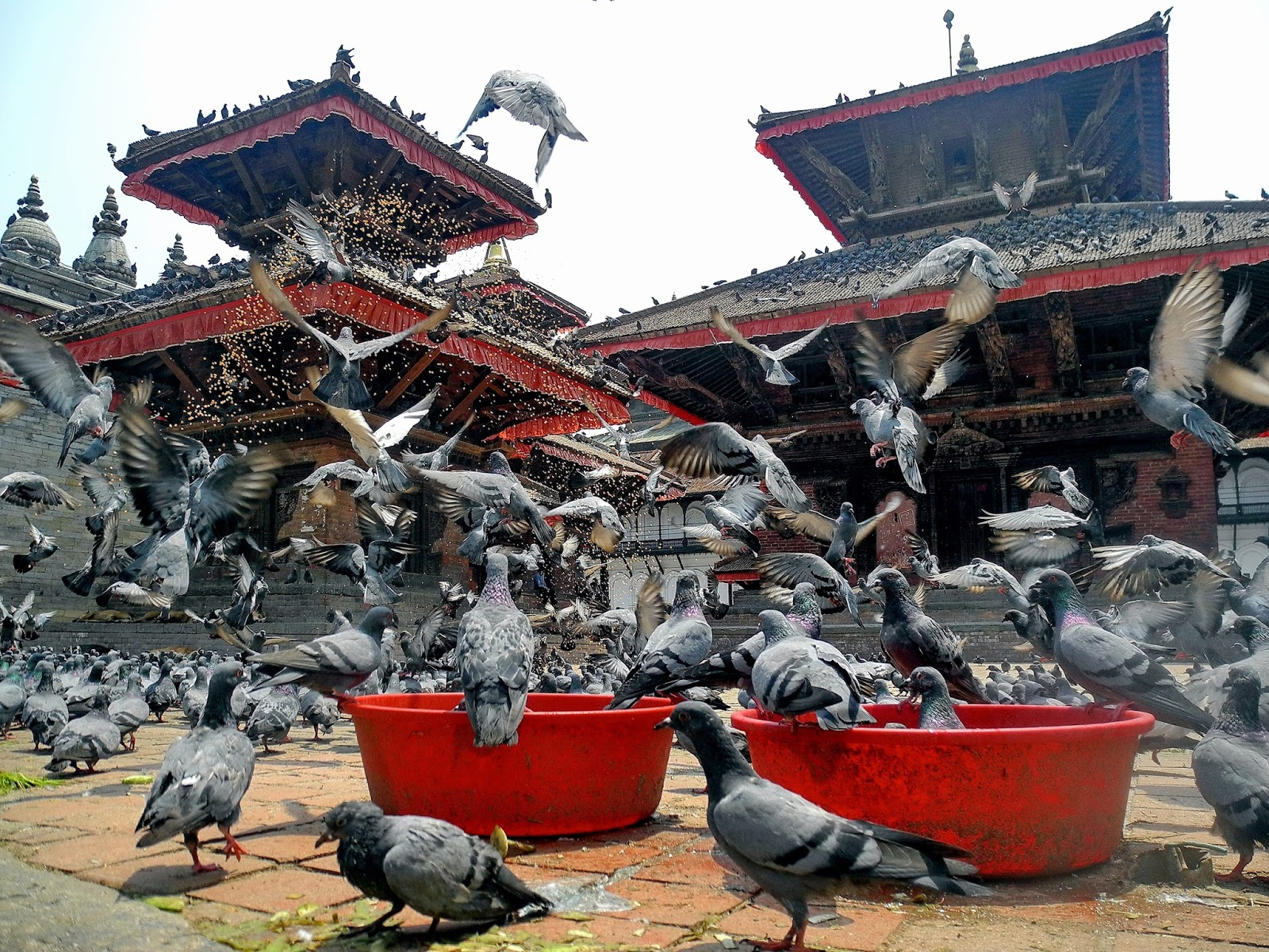 Flock of pigeons at a Kathmandu temple.