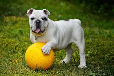 كلب البولدوغ