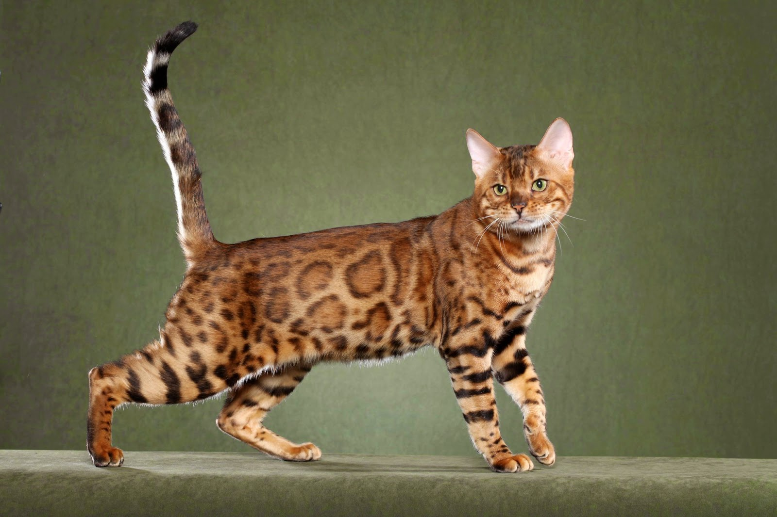 Bengal Cat Savannah Cat images