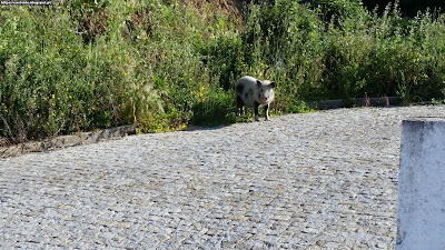 Pig lost in our village of Castelo de Vide - Fotografias Gerais (Geral Photos) de Castelo de Vide, Portugal