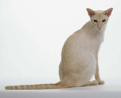 Kucing Colourpoint Shorthair