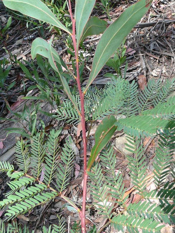 Plant Id Forum Plant Id Red Stem Wattle Gardenorg