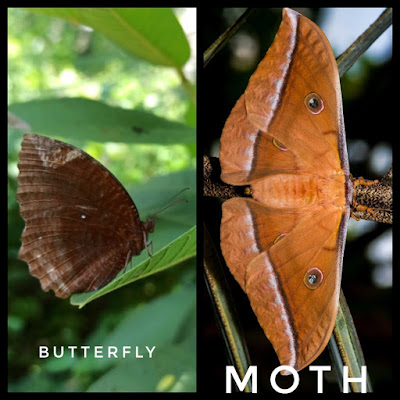 Resting-posture-of-butterfly-and-moth
