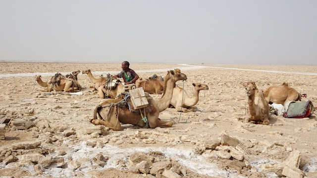 Camels carrying salt that was mined by hand