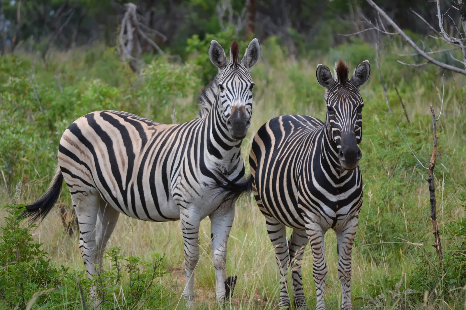 White zebra with black stripes and black zebra with white stripes