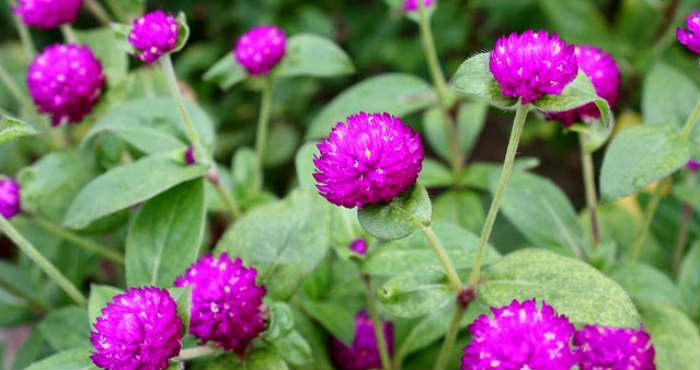 Manfaat-dari-Tanaman-Bunga-Kenop