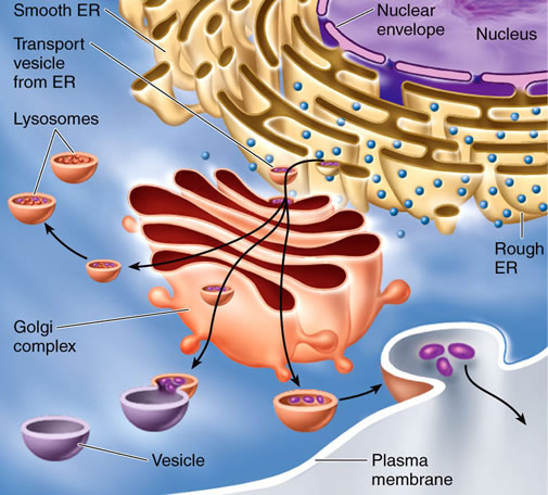 endoplasmic reticulum and cell membrane relationship quotes
