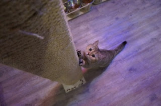 Gato en rascador Amante de los gatos