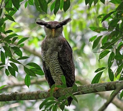 Beluk Jampuk (Bubo Sumatranus)