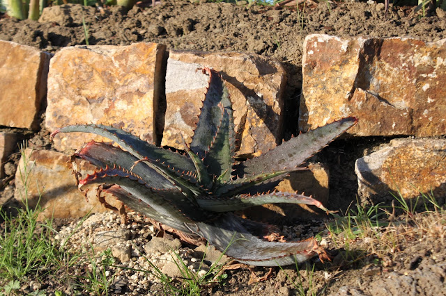 Newly planted Aloe mudenensis on a hillside
