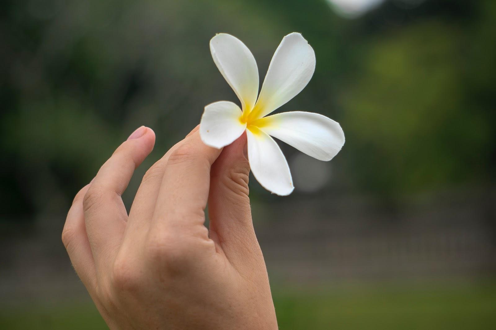 アジアの一輪の白くて美しい花を手に持っている