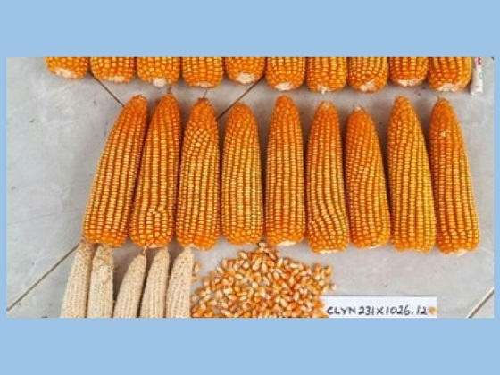 jagung hasil pemuliaan tumbuhan memiliki potensi unggul