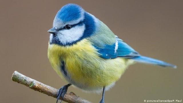 Μυστηριώδης νόσος σκοτώνει τα μπλε πουλιά στη Γερμανία