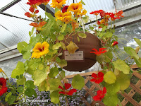 Nasturtium hanging basket, flower show - Kyoto Botanical Gardens, Japan