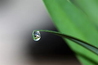 صورة لقطرة ماء تتدلي من فوق النباتات