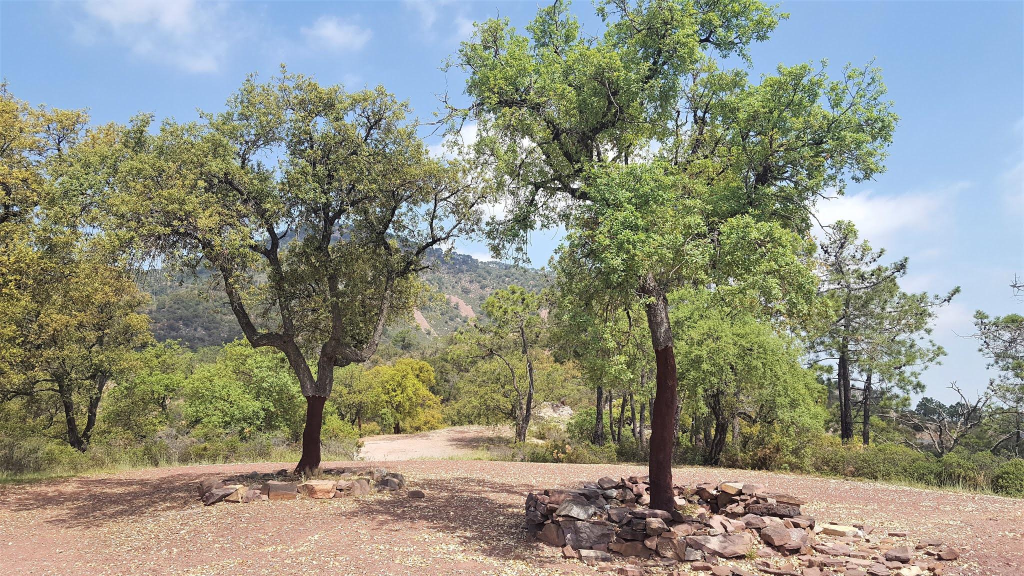 Cork trees following the extracting of their cork in the Serra d'Espadà, Castellón