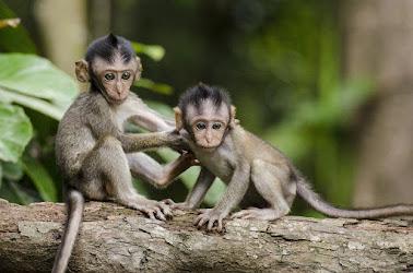 Melihat monyet di dalam mimpi