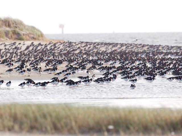 Austernfischer am Osterhook (300mm, f/4.5, 1/640sek., ISO200)
