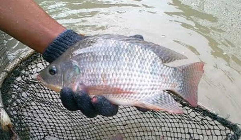 Jual Ikan Nila Di Kota Kediri