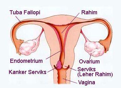 Alat Reproduksi Wanita Bagian Luar dan Dalam beserta Gambarnya