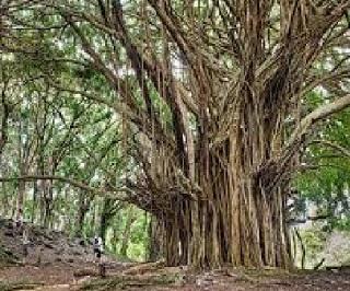 Short Essay on 'Banyan Tree' in Hindi   'Bargad ka Vriksh' par Nibandh (80 Words)
