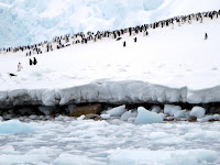 A gentoo penguin colony on the Antarctic Peninsula. (Credit: David Stanley/flickr) Click to Enlarge.