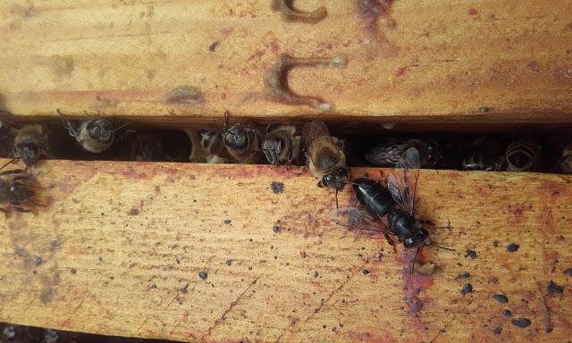 Μελανίαση των μελισσών ή αλλιώς μέλανη νόσος