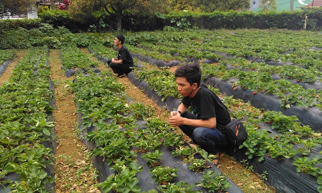 Perkebunan Strawberry - Malino