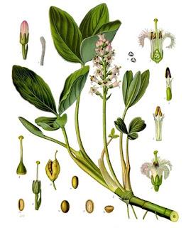 Buckbean