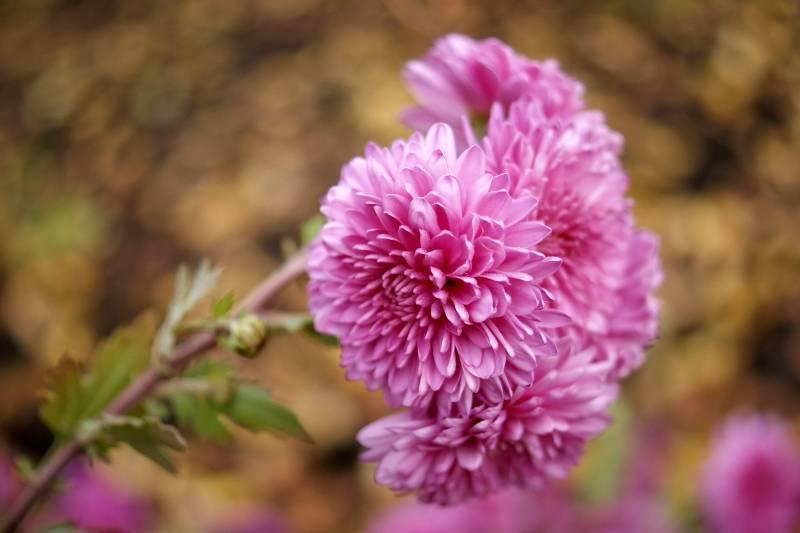 Crisantemo pompon rosa