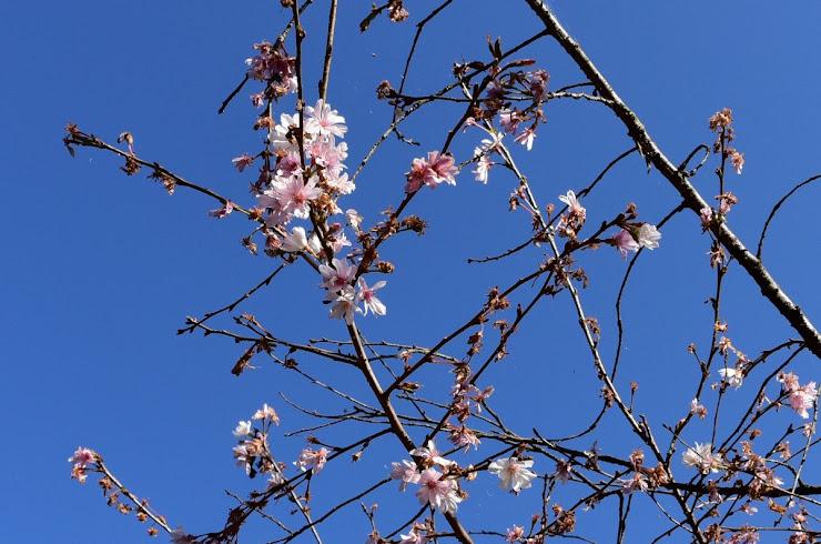 城峰公園の冬桜