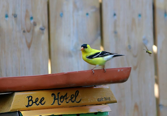 american gold finch on top of bee hotel chased by insect