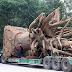 """Với tổng trọng lượng mỗi xe chở cây tới 48 tấn, việc chuyển 3 cây đa sộp """"quái thú"""" đang gặp khó khăn"""