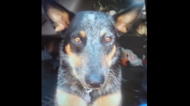 Похищенная угонщиками собака вернулась домой через две недели