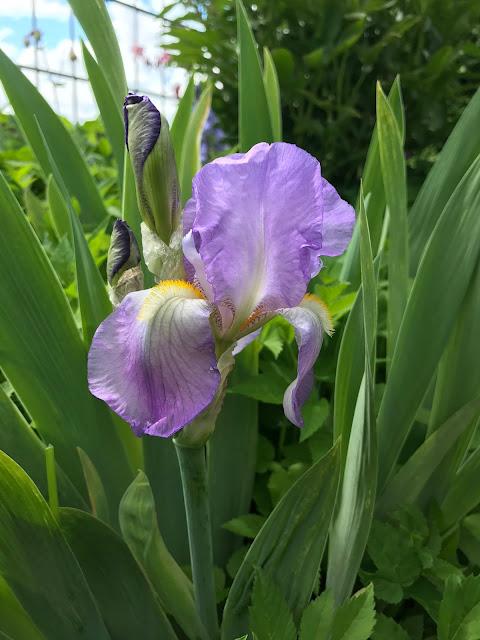 Mamas Iris aus  ihrem ehemaligen Garten (c) by Joachim Wenk