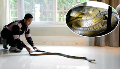 Penangkapan ular king kobra di rumah mewah