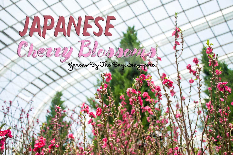 sakura Japanese cherry blossoms singapore