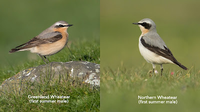 Wheatears by Ben Porter