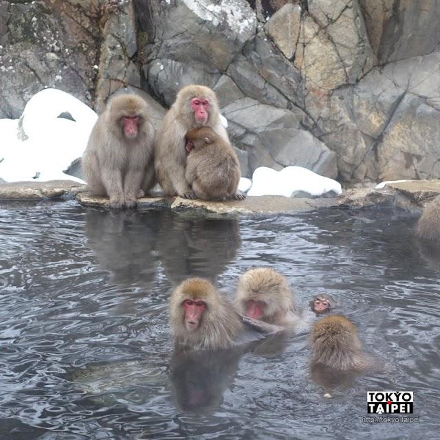 【地獄谷野猿公苑】雪猴在雪地裡泡溫泉 小心手機別被猴子搶走