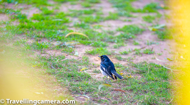 The oriental magpie-robin is a small bird that was formerly classed as a member of the thrush family Turdidae, but now considered an Old World flycatcher. They are distinctive black and white birds with a long tail that is held upright as they forage on the ground or perch conspicuously.     The oriental magpie-robin is the national bird of Bangladesh.    Related Blogpost - The Winged Models || Birds of Badahin, Mandi, Himachal Pradesh