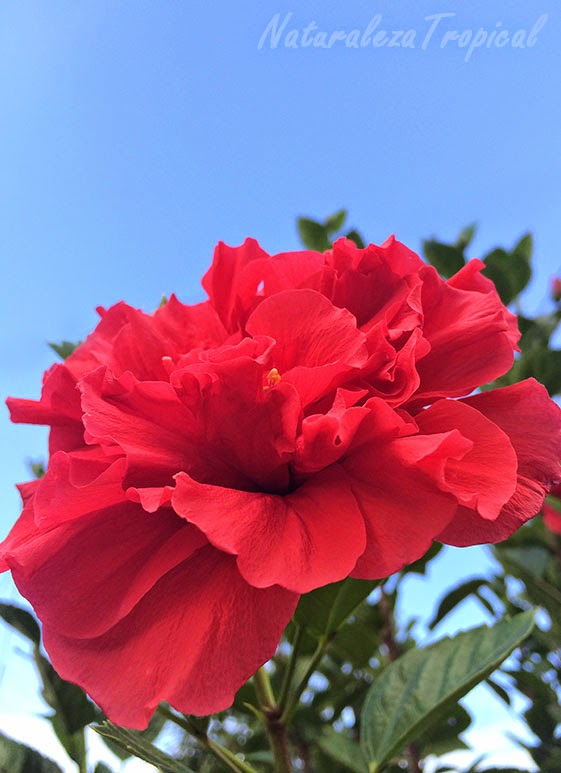 Flor de planta perteneciente al género Hibiscus, variedad moñuda roja