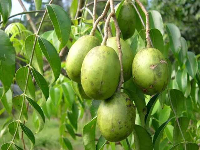 Image result for buah amrah